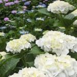 農家の庭で色鮮やかなアジサイ見学/小金井市