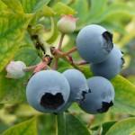 【貯金商品】ブルーベリーの収穫体験特典付き 「ブルーベリー積金」発売中!