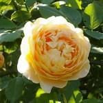 【参加者募集】6/3(金)バラのお手入れと夏の管理講座/国分寺支店