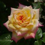 【イベント】バラのお手入れと夏の管理講座/国分寺支店