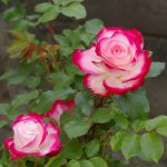 【参加者募集】キレイな秋バラを咲かせるための 夏剪定講座/国分寺支店