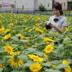 夏の風物詩!農家の庭でヒマワリが見頃/小金井市
