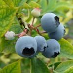 【貯金商品】ブルーベリーの収穫体験特典付き!「ブルーベリー積金」発売中!