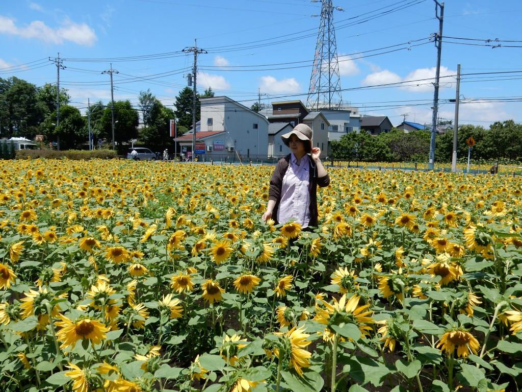 東京むさし・0617・地域に癒しを与える ヒマワリ畑