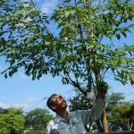 小金井桜の復活再生を願い、農家が植樹/小金井市