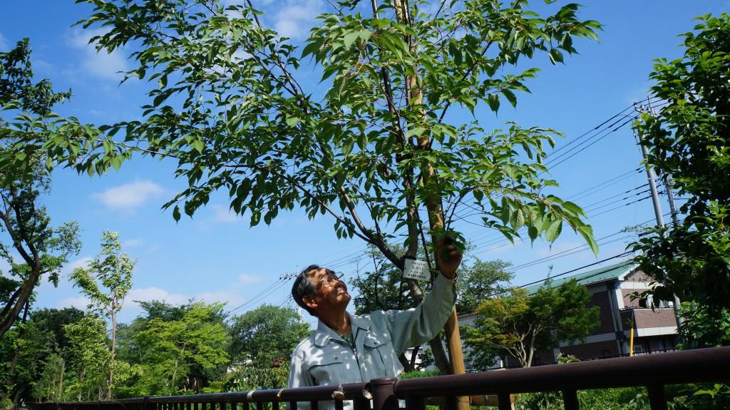 東京むさし・日付なし・玉川上水提の「名勝 小金井桜」ヤマザクラ並木復活再生