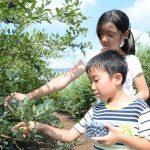 ブルーベリー積金特典の収穫体験を開きました!