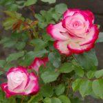 【参加者募集】9/3(月) キレイな秋バラを咲かせるための 夏剪定講座/国分寺支店