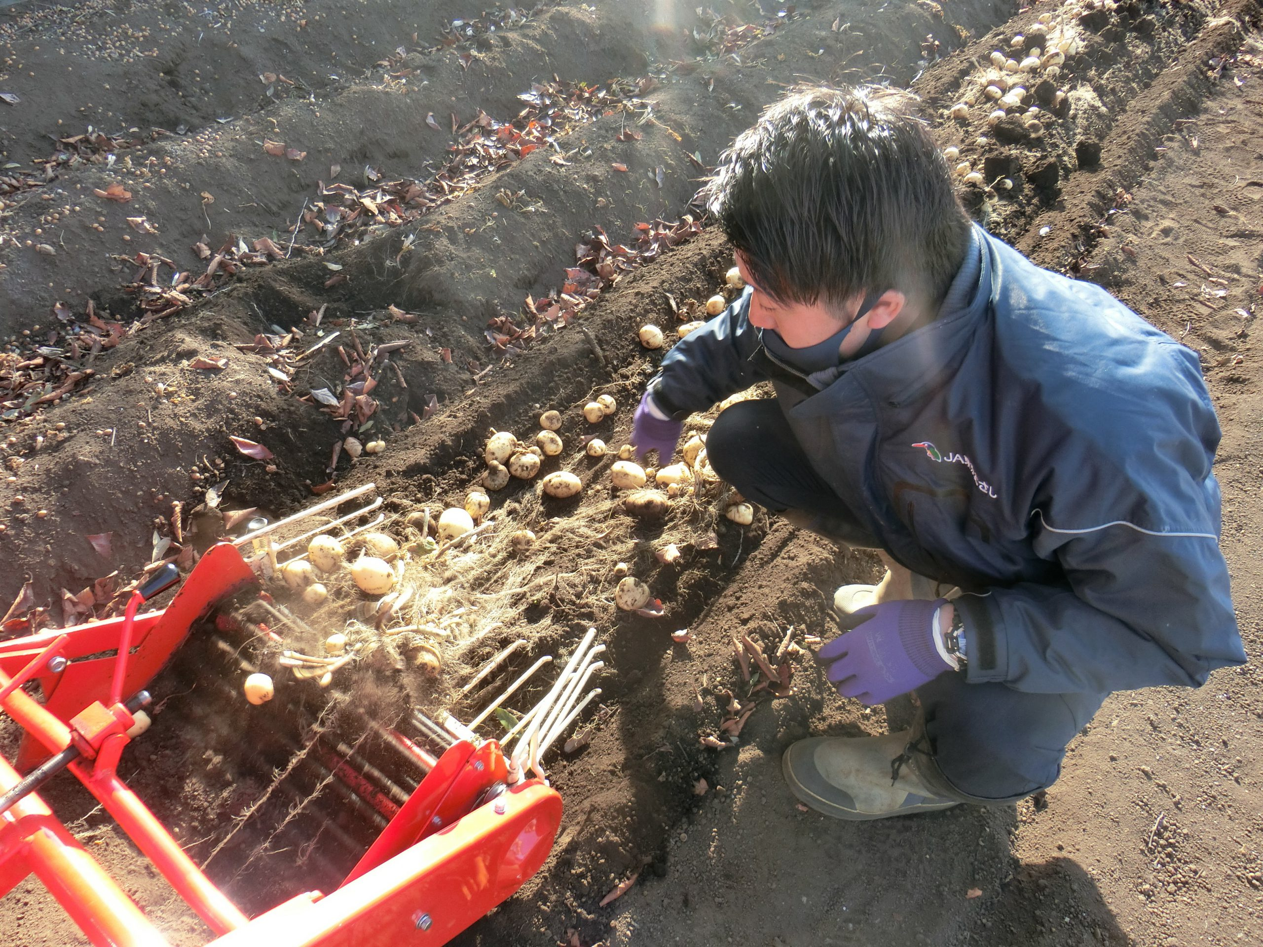 秋作ジャガイモ試験栽培 生産拡大目指す